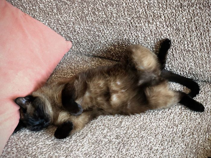 Couch Asleep Belly Up Cat Domestic Domestic Animals Domestic Cat Feline Indoors  Lying Down Mammal One Animal Pets Relaxation Resting Siamese Cat Sleeping Sofa