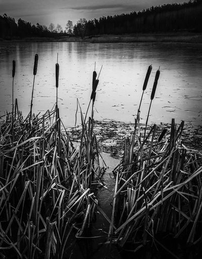 Cat tails by the lake Bw_ Collection Bw_lovers Reflection Beauty In Nature Tranquil Scene Cattail Outdoors