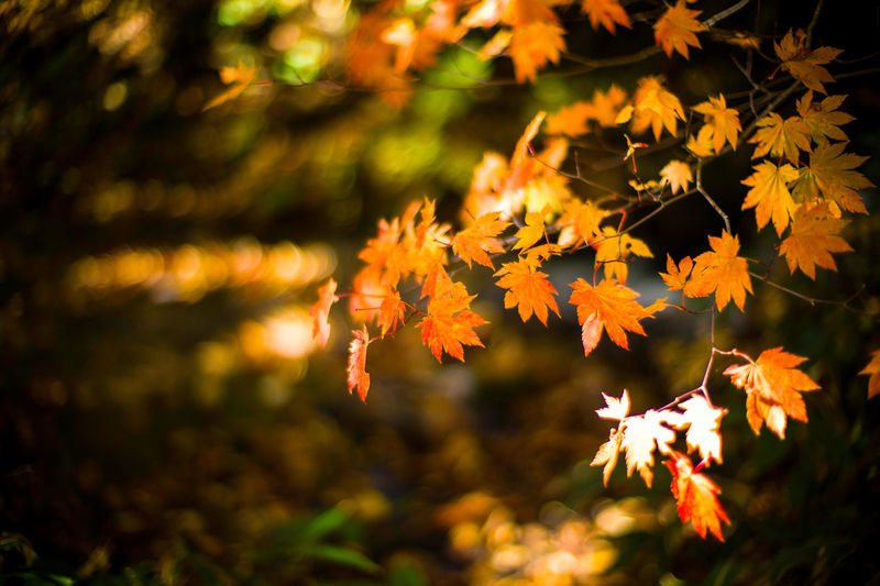 Maple Autumn Autumn Leaves Autumn Colors Colors Of Autumn Wind Rustling Leica LeicaM9 Noctilux