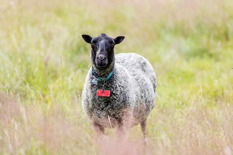 Black sheep standing on field