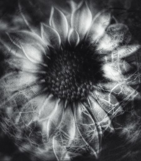 Texture Overlay Editing EyeEmNewHere Abstract Photography Abstract Noir Black And White Flower Full Frame Fragility Backgrounds Flower Head Nature Growth Freshness Beauty In Nature No People Close-up