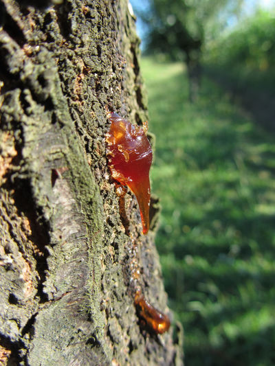 Closeup of pear tree excretion of gummy resin Amber Bark Branch Canker Crevice Drip Drop Excretion Log Myrrh Oozing Out Outflow Part Pear Tree  Plant Resin Rosin Sap Sticky Stump Tar Translucent Transparent Trunk Wood