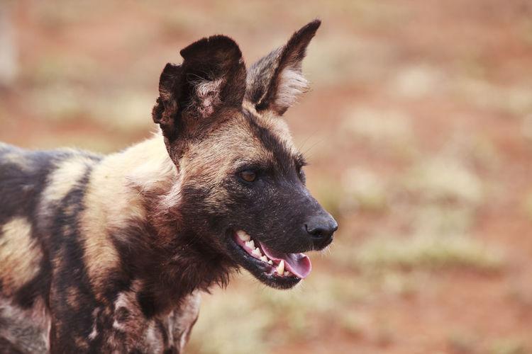 Close-Up Of Wild Dog