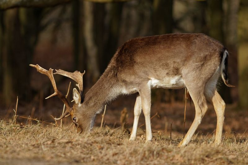 EyeEm Selects Animal Animal Themes Animal Wildlife Animals In The Wild Mammal Vertebrate Deer