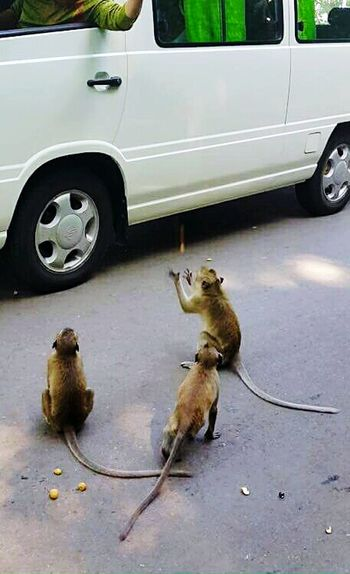 Monkey Monkeys Feeding  Feeding Animals EyeEm Nature Lover Animal Lover Side Of The Road Middle Of The Road Snack Time! Peanut Hungry Scavenger On The Road Novice Photography Novice Cambodia Kep Catch Catch The Moment Drop Nut Up Close Street Photography