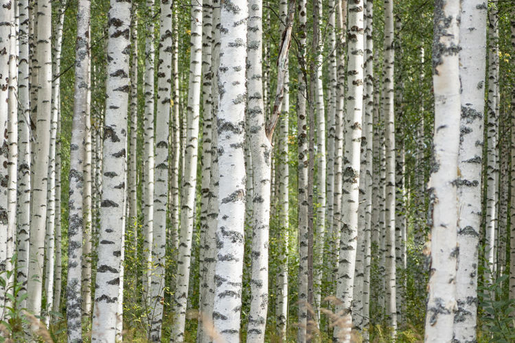 Panoramic view of pine trees in forest