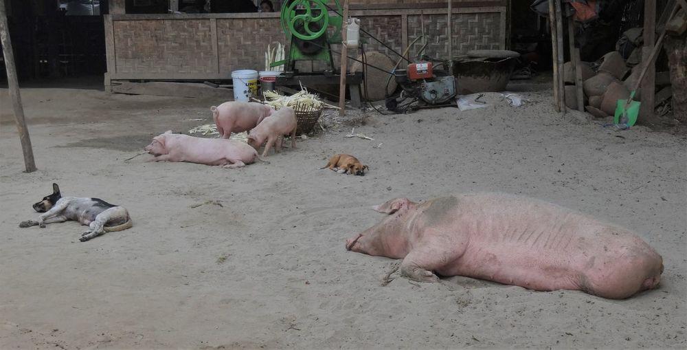 Myanmar Pig Village Life