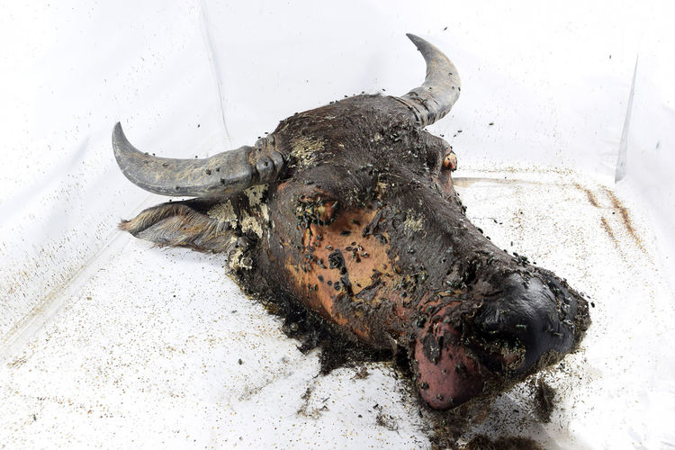 Head buffalo placed in controlled box with LED light for study purposes Monthly decomposition process. Animal Animal Themes Asian Animals Close Up Day Dry Skin Horned Animals Macro Mammal Outdoors Progress Water