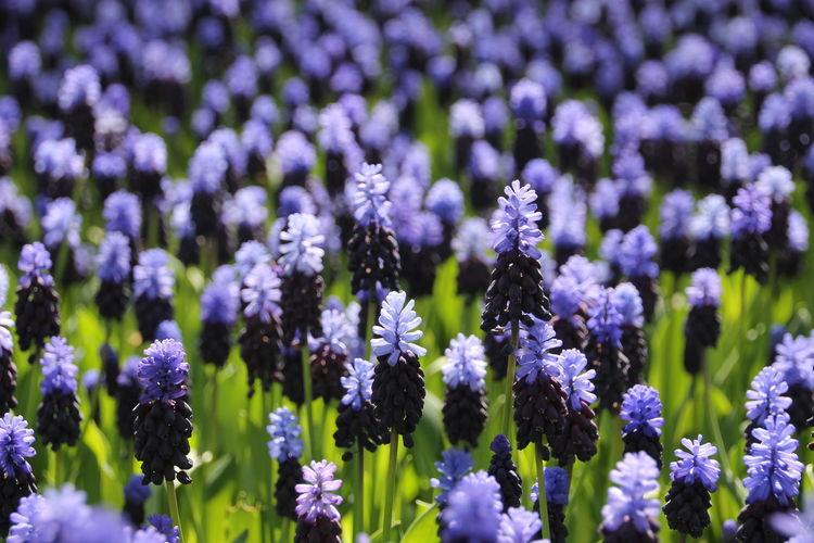 Full Frame Of Lavender Field