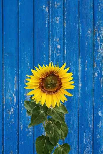 Colors of summer Wood Light Colors Still Life EyeEm Gallery Eye4photography  EyeEm Selects Sunflower Flower Plant Flowering Plant Blue Yellow Wood - Material Close-up Flower Head Nature Freshness Growth Inflorescence No People Full Frame Pattern Backgrounds Petal Creativity Fragility Outdoors