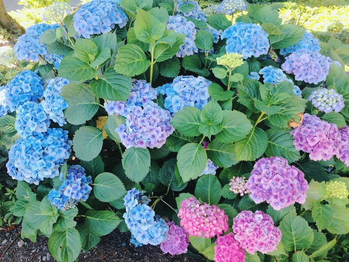 Flower Plant Freshness Growth Nature Leaf Fragility Beauty In Nature High Angle View Green Color Day Purple Outdoors Flower Head Close-up No People Blooming Hydrangea 紫陽花