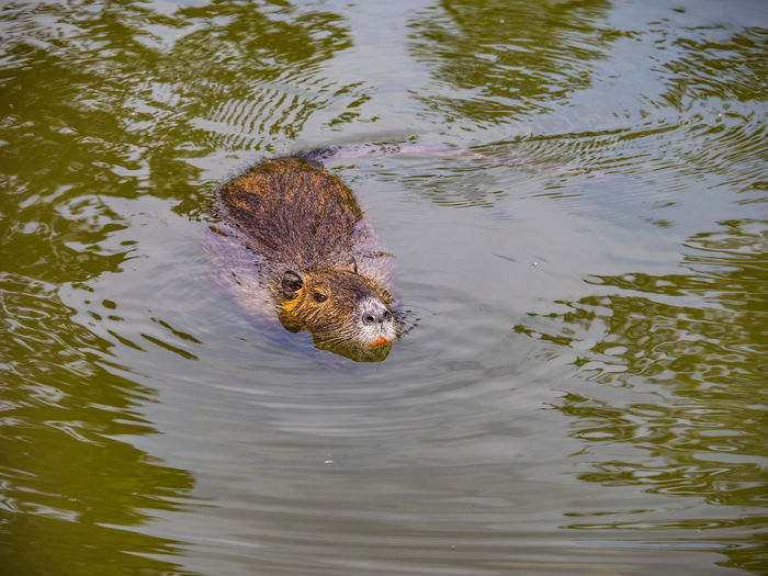 Beaver at the