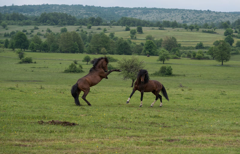 stallions in fight Animal Themes Beauty In Nature Field Grass Green Color Horse Horses Landscape Livestock Mammal Nature No People Rural Scene Scenics Stalion Tree
