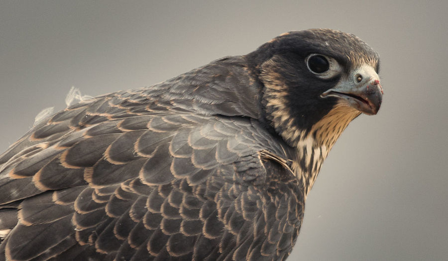 Close-up of eagle against gray background