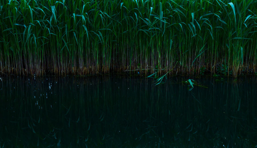 quite a dark picture of reed Grass Lake Nature No People Outdoors Reed Reflection Water