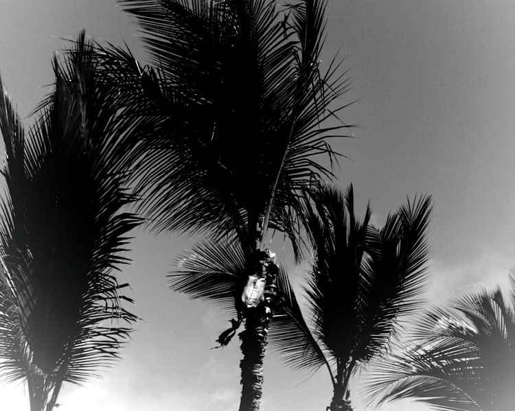 Palm Tree Tree Nature No People Tranquility Outdoors Day Sky Trees And Sky Tree_collection  Frond Tree Trunk Clear Sky Tree Black & White Black & White Photography Black And White Collection  Landscape_Collection Postcard Picture Landscape_photography Backgrounds Fronds Palm Leaves Beauty In Nature