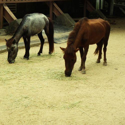 Pasture Horses Horse Rokkosan Animal Animal Themes Agriculture Livestock