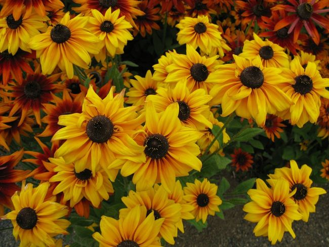 Abundance Backgrounds Beauty In Nature Black-eyed Susan Blooming Close-up Flower Flower Head Fragility Freshness Full Frame Growth High Angle View In Bloom Nature Petal Plant Pollen R.tullis Sunflower Yellow