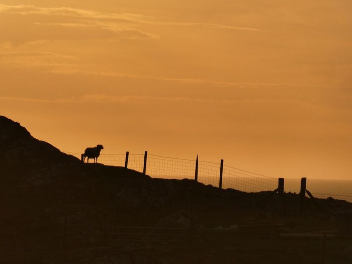 Sunset Sheep on Isle of Lewis Sheep Sunset #sun #clouds #skylovers #sky #nature #beautifulinnature #naturalbeauty #photography #landscape Isle Of Lewis Outer Hebrides Scotland VisitScotland Nature Mammal Animal Themes Animal Sunset Sky Silhouette Domestic Animals Land Nature Group Of Animals Beauty In Nature Environment Vertebrate Scenics - Nature Domestic Landscape Livestock