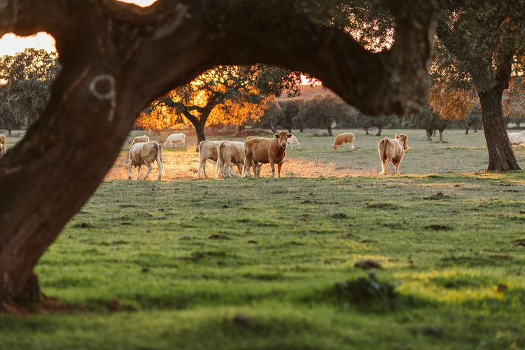 Agriculture Meal Agricultural Land Agriculture Photography Alentejo Animal Themes Cow Cow Pasture Domestic Animals Field Grass Growth Limousin Limousine Mammal Meat Nature Rural Scene Tree Tree Trunk