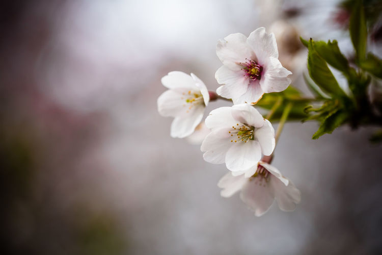 Close-up of cherry blossoms in park