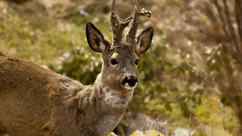 EyeEm Selects Nature Animals In The Wild Deer One Animal Animal Themes Animal Wildlife Mammal Portrait Looking At Camera Focus On Foreground No People Day Outdoors Stag Close-up First Eyeem Photo