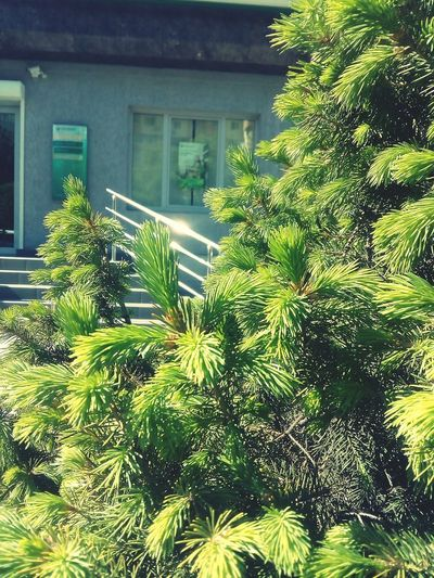 Day No People Outdoors Green Color Tree Nature Plant Architecture Beauty In Nature Green Color Green Green Green!  Green Nature Green Grass 🌱 Nature Tree Nature Photography Nature_collection Fir Tree Fir Trees Fir