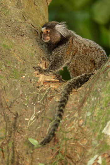 monkey climbing a tree Brown Wildlife Animal Themes Monkey Climbing Tail Branch Tree Animal Themes Close-up Tree Trunk Woods Plant Bark Bark Primate