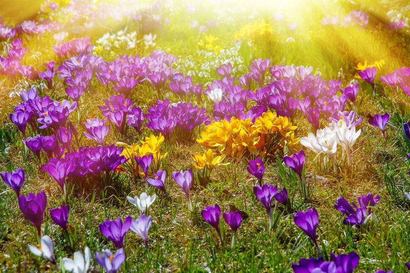 Crocuses in the sun Flower Plant Beauty In Nature Purple Growth Field Nature Sunlight Flowerbed Springtime Crocus Petal Crocuses Garden Sunset Sunny Light Colorful Gardening Season  March Green Environment Beauty In Nature Many