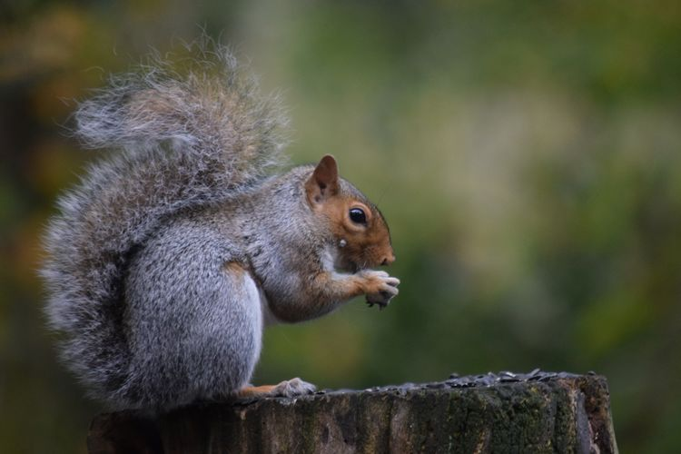Close-up of squirrel on tree stump