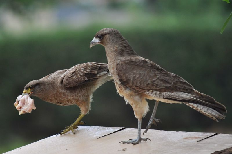 Close-up of black kites with food
