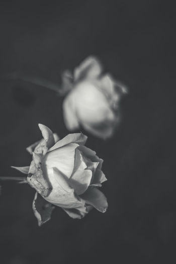 Beauty In Nature Bokeh Close-up Flower Flower Head Fragility Freshness Growth Nature Nature No People Outdoors Petal Plant Rose - Flower White Rose, Rose