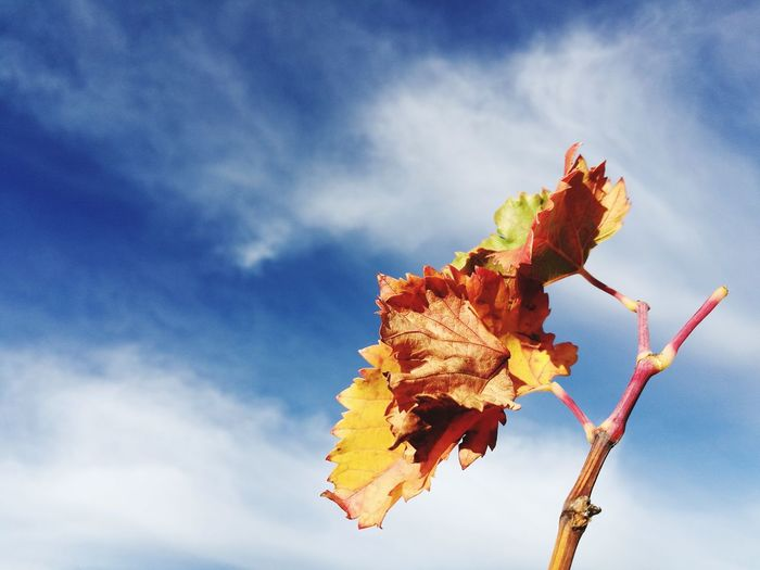 Beauty In Nature Close-up Cloud - Sky Autumn Nature Blue Day Outdoors Sky Nature Photography Vineyard🍇