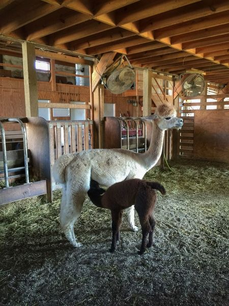 Suckling cria Alpaca Alpacas Alpaca Farm Alpaca Baby Cria Motherhood Motherhood In Nature