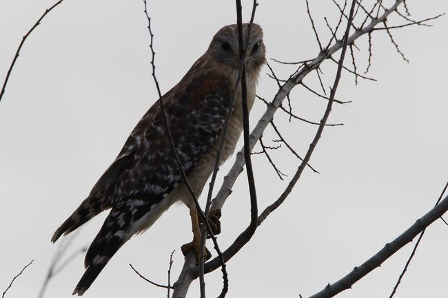 Red Shouldered Hawk Hiding Out One Animal Bird Animal Themes Animals In The Wild Perching Animal Wildlife Branch