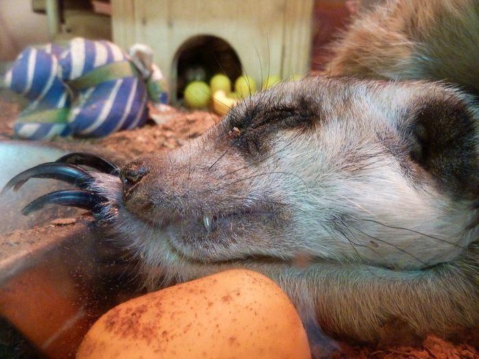 Surikata Animal Themes Close-up Day Domestic Animals Indoors  Mammal No People One Animal Pets Suricate
