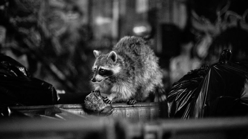Nightphotography Backalley Raccoon Toronto Chinatown