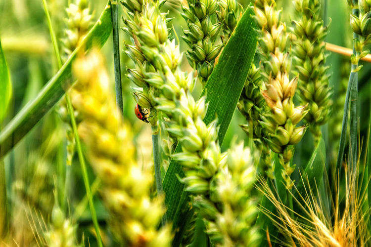 Farm Farm Life Field Green Green Color Ladybug Ladybug🐞 Macro Photography Marienkäfer Nature Nature Photography Wheat Wheat Field Beauty Beauty In Nature Ernte Harvest Harvesting Insect Insect Photography Insects  Macro Nature_collection Rural Scene Weizen