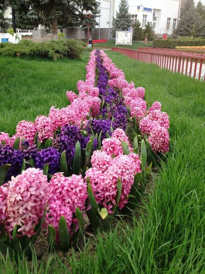 Flower Growth Beauty In Nature Nature Plant Freshness Purple Fragility No People Blossom Outdoors Flower Head Day Hyacinths Zambile