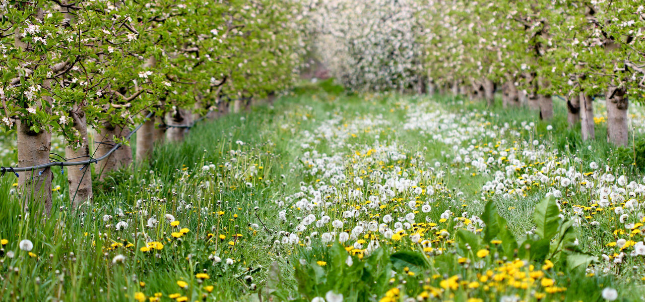 Agriculture Apple Orchard Apple Tree Apple Trees Garden Blossom Dandelion Farm Row Spring