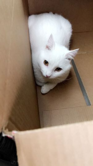 Pets Domestic Cat Domestic Animals Mammal Animal Themes One Animal Feline Looking At Camera Indoors  Cat Portrait Home Interior No People Cardboard Box Close-up Day Kitten Cute Cute Cats