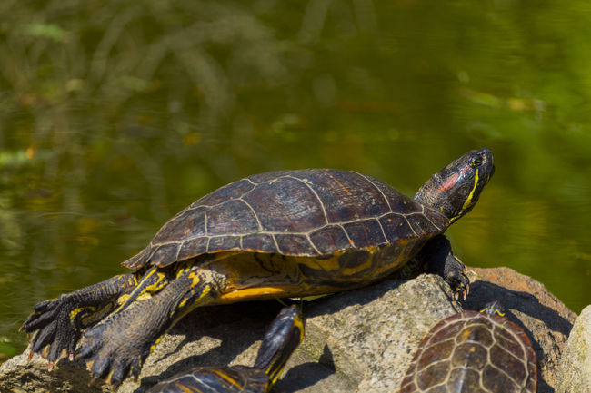 Freedom Reptile Turtle 🐢 Turtles Animal Animal Themes Animal Wildlife Animals In The Wild Close-up Closeup In Nature Marine Nature No People Outdoors Outside Photography Park Pond Life Pond Water Reptile Reptile Close Up Tortoise Tortoise Shell Color Vertebrate Water
