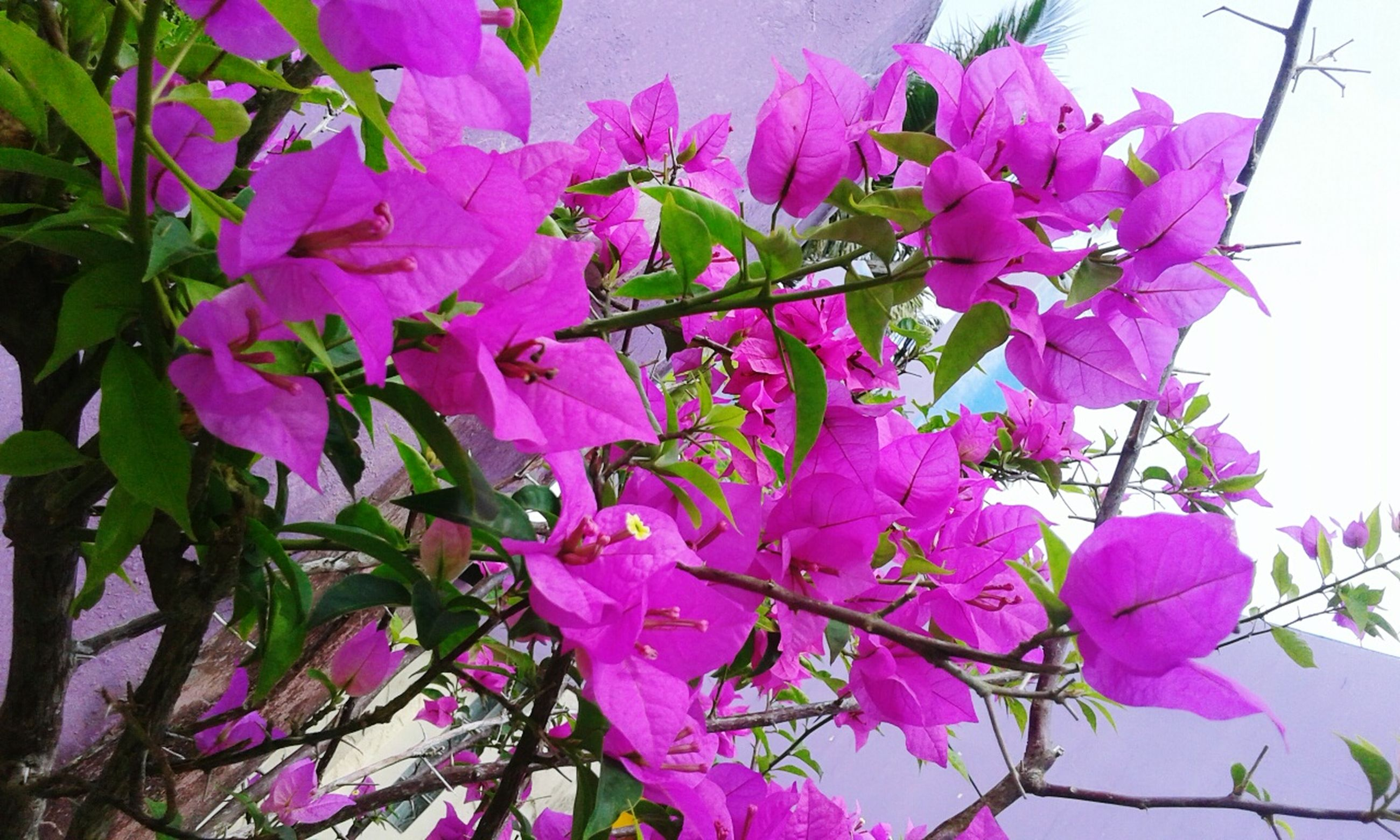 flower, freshness, fragility, petal, growth, beauty in nature, pink color, blooming, nature, flower head, plant, purple, leaf, close-up, in bloom, stem, blossom, day, no people, outdoors