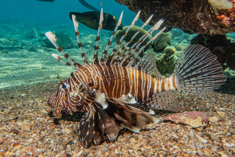 Lion fish in