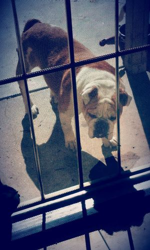 Londons waiting... My Furry Kid Smelly Beast Much Love❤ English Bulldog I Love Her So Much Check This Out Hello World Enjoying Life My Take Exspression