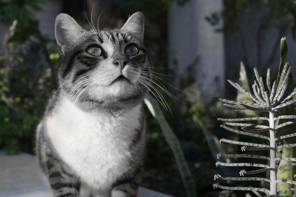 Animals Black & White Cat Color Splash Eye Green NX2000 Pets Portrait