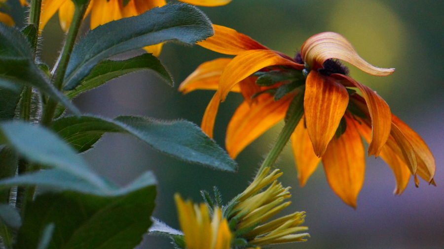 Flipped Petal Beauty In Nature Close-up Day Flower Flower Head Flowering Plant Focus On Foreground Fragility Freshness Growth Inflorescence Leaf Nature No People Orange Color Outdoors Petal Plant Plant Part Sepal Vulnerability  Yellow