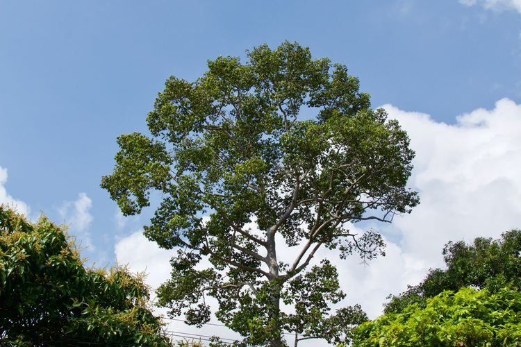 Tree Plant Sky Growth Beauty In Nature Day Low Angle View Cloud - Sky No People Tranquil Scene Tranquility Green Color Nature Non-urban Scene Scenics - Nature Branch Outdoors Idyllic Coniferous Tree Land Sunlight Thailand Tropical Tree