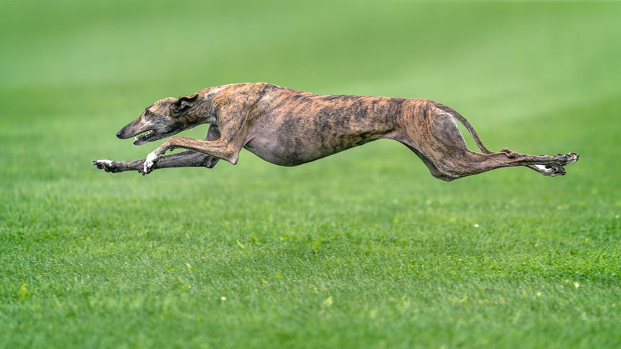 A greyhound completely lifted off the ground during the race. Animal Themes Animal Wildlife Animals In The Wild Day Field Full Length Grass Green Color Mammal Nature No People One Animal Outdoors
