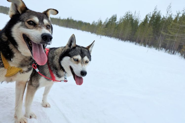 Cute husky at their snowy habitat at finland Animal Themes Beauty In Nature Cold Temperature Day Dog Domestic Animals Mammal Nature No People Outdoors Pets Siberian Husky Sled Dog Snow Weather Winter